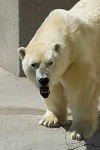 Senator Inhofe's unlikely polar bear expert frustrates polar bears and thinking humans