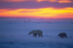 Alaska sues over polar bear listing under Endangered Species Act