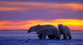 Will listing as endangered really help the polar bear?