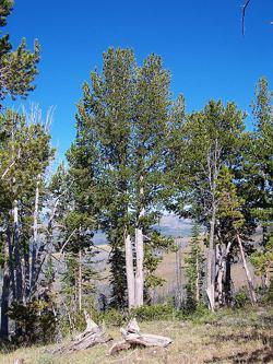 whitebark_pine.jpg
