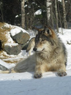 Influential groups like the Alaska Outdoor Council say that wolf populations need culling because subsistence hunters rely on moose and caribou to feed their families. Defenders of Wildlife disagrees, saying that it is Alaska's small but politically influential commercial hunting interests -- not subsistence hunters -  who want to keep aerial wolf-gunning alive