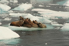 Walrus on melting ice